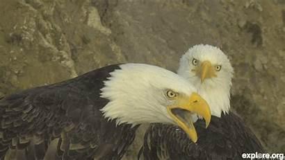 Eagle Couple Bald Explore Week Po Hip