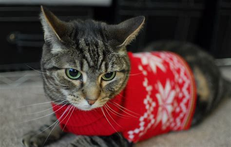 cat sweaters for cats these 26 cats wearing sweaters will put a smile