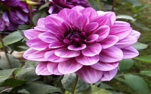Light Purple Flower Images : Wallpapers13.com