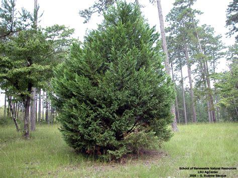 leyland cypress louisiana plant id xcypressocyparis leylandii leyland cypress