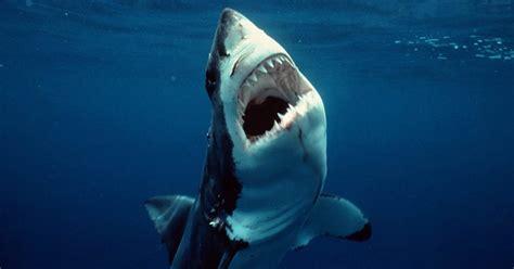 Teenage great white sharks have weak bite