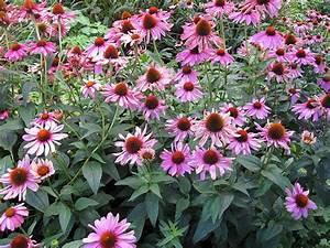 Blühende Sträucher Für Sonnigen Standort : purpursonnenhut staude echinacea purpurea pflanze purpur ~ Watch28wear.com Haus und Dekorationen