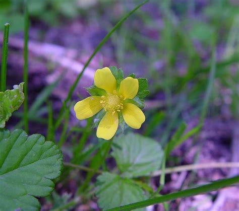Potentilla indica (Indian-strawberry): Go Botany