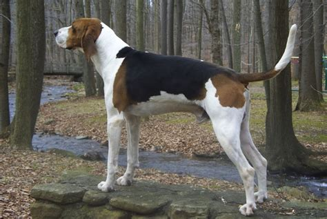 do walker coonhounds shed treeing walker coonhound breed standards
