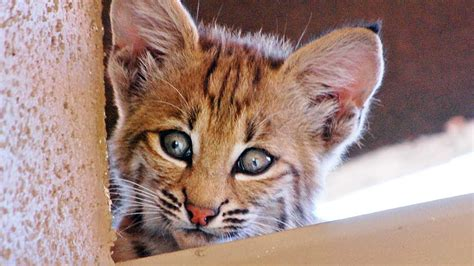 bobcat mom kittens living  roof youtube