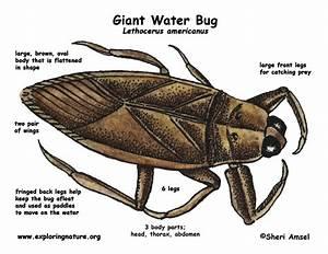 Water Bug  Giant
