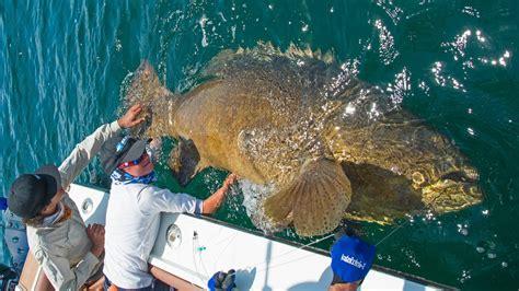 grouper giant josh blacktiph ft chew burn gets line