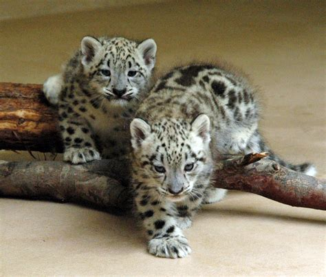Fashion Scavenger by Faieka : Dreaming of Leopard Cubs .