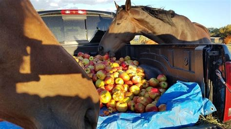 apples horses ranch horse truckload mischievous chance second truck these rescue pulls go bonkers animal they were