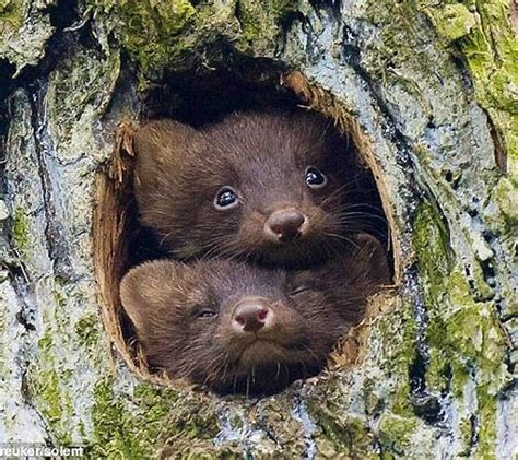 Baby European Pine Martens In The Netherlands Have Taken