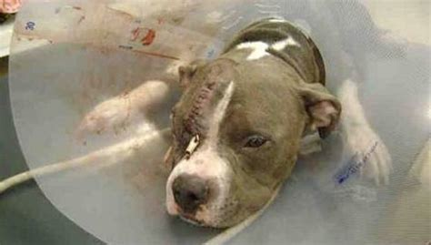 woman saves pit bull  beaten  death  angry mob