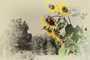 Vintage SUnflowers by Lenore49 on DeviantArt