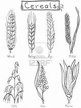 Wheat Barley Hand Rice Drawn Coloring Drawing Illustration Tattoo Millet Cereals Plant Rye Cereal Farm Easy Drawings Grains Maize Vector sketch template