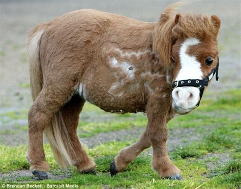pony dwarf mini ponei horse miniature ponies horses cute cutest smallest dwarfism animals baby neatorama born shetland adorable worlds