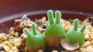 Plante Succulente Espèces Représentatives : d couvrez la monilaria obconica une petite plante ~ Nature-et-papiers.com Idées de Décoration
