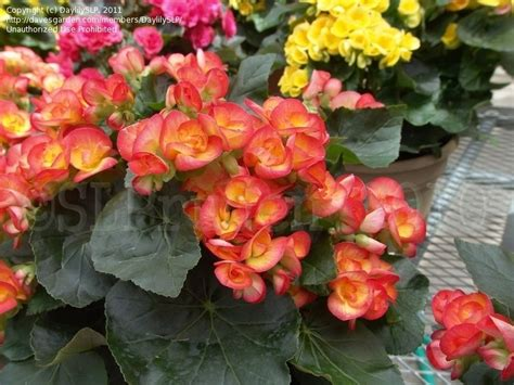 plantfiles pictures amstel begonia rieger begonia