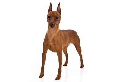 german pinscher dog breed information