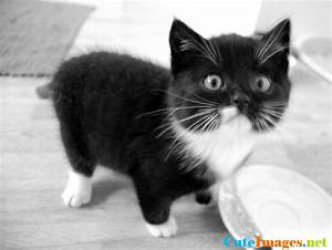 Black and white cat cats - CuteImages.net