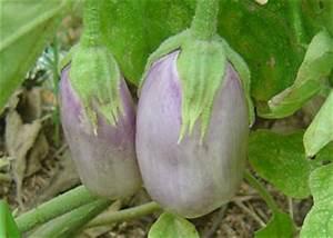 Neon Eggplant Solanum melongena