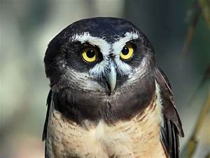 File:Spectacled Owl RWD1.jpg