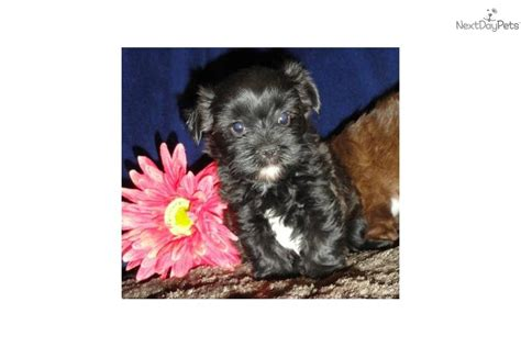 do shorkie poos shed shorkie puppies what is a shih poo breeds picture