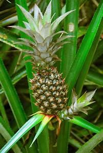 Plant D Ananas : plants are the strangest people carmen miranda ananas comosus part ii ~ Melissatoandfro.com Idées de Décoration