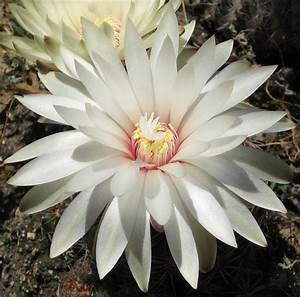 flowers for flower lovers.: cactus flowers photos.