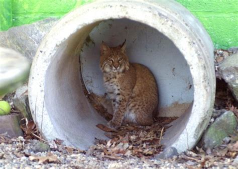 iowa opens  counties  bobcat hunting state