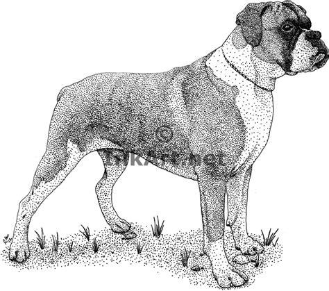 boxer dog canis lupus familiaris  art  full color