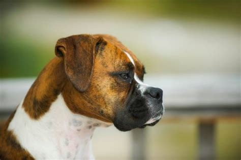 top  brindle dog breeds preview  pictures animal bliss