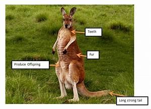 Diagram Kangaroo