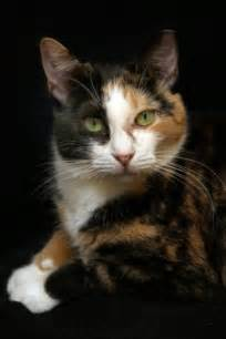 Calico Cats Kittens