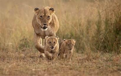 Peapix Grass Lion