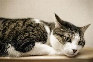 Infecciones de oído en gatos y tratamiento para curar otitis