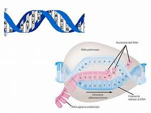 Trascrizione, durante la quale il DNA è trascritto in mRNA * ppt scaricare
