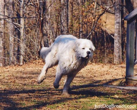 great pyrenees shedding in clumps low shedding breeds with pictures breeds picture