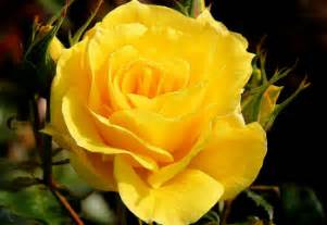 valentines day gifts for history and meaning of yellow roses proflowers