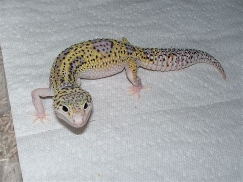 girly car brands as a petrol head i want to name my new gecko after a car