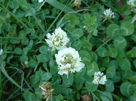 clover plant gardening naturally with claudia growing pains of summer weeds
