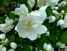 Favorite Fragrant Flower – Philadelphus coronarius – Mock ...