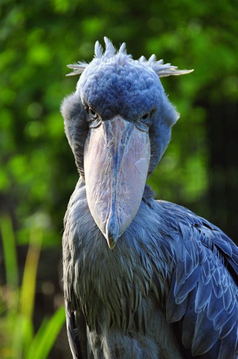 Shoebill Its A Real Loftwing Lol Legend Of
