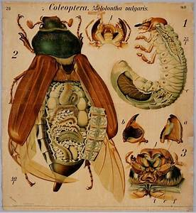 Vintage Insect Anatomy