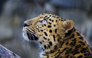 Leopard Full HD Wallpaper and Background Image | 1920x1200 ...