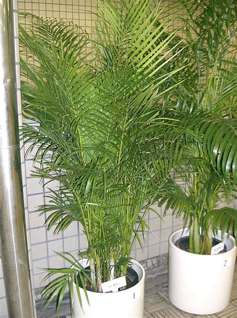 file dypsis lutescens1 jpg wikimedia commons
