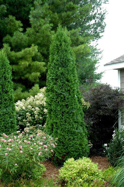 arborvitae pole north plants thuja gertens occidentalis minnesota evergreen garden cedar growing boe grove plant shrubs tree columnar landscaping mn