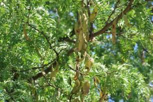 Locust Tree Seed Pods