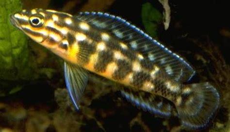 poisson lac tanganyika aquarium julidochromis marlieri poissons exotiques vente magasin uniquement cichlid 233 s africains