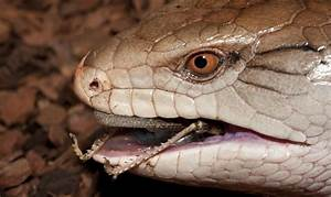 Blue-Tongued Skink (Tiliqua) | about animals