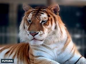 fond d39ecran tigre orange du bengale cougar des montagnes With plan de maison original 14 fond decran lion blanc