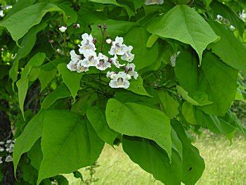 tree with big leaves and white flowers tree identification helpfulgardener com